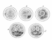 Cell division in petri dish